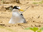 Interior least tern, a white and gray bird with a black mask, and a long yellow beak