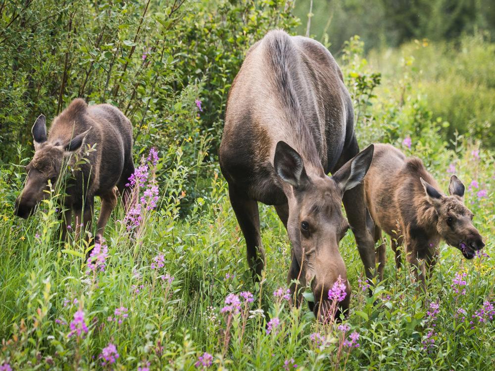 moose elkmoose перевод, moose racing, moose blood, moose on, moose plural, moose jaw, moose little live pets, moose test, moose транскрипция, moose and squirrel, moose toys, moose tna, moose perl, moose man, moose logo, moose the mooche, moose elk, moose shopkins, moose house, moose coffee