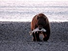 large brown bear carrying a salmon in its mouth