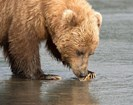 a brown bear pawing at a clam on a beach