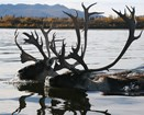 two bull caribou swimming through a river