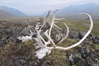 Caribou skulls in an Arctic valley