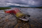 A spawning salmon struggles to get back into the water.