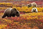 Grizzly bear among fall colors in Denali NP & Pres