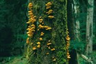"""Chicken of the woods"" fungi on a tree"