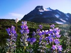 Lupine flowers on Sahale Arm