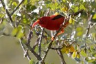 'I'iwi, a bird of the honeycreeper family, on mamane tree