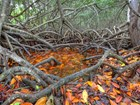 Tangled mangrove roots with brown and orange wet leaves