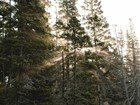 Light shines through a spruce forest