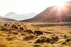 Bison cross the Lamar Valley in the evening summer sun.