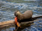 Otter on a log consuming a cutthroat trout near Trout Lake. NPS Photo - D. Bergum