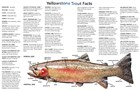 A painting of a cutthroat trout with facts listed.