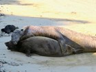 A large adult male elephant seal lies alongside a smaller adult female, holding her in place.