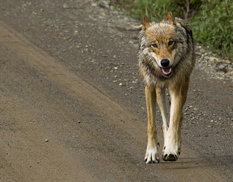 Wolf walks down a dirt road