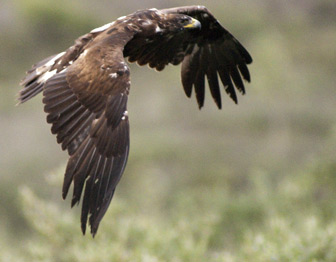 A golden eagle soars over the tundra