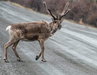 A caribou walks across a dirt road