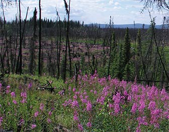 Bright pink flowers grow among burned trees
