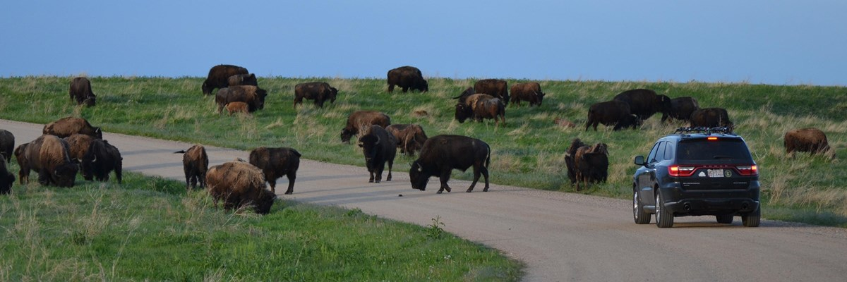 a black car on a dirt road approaches a herd of approximately 20 bison.