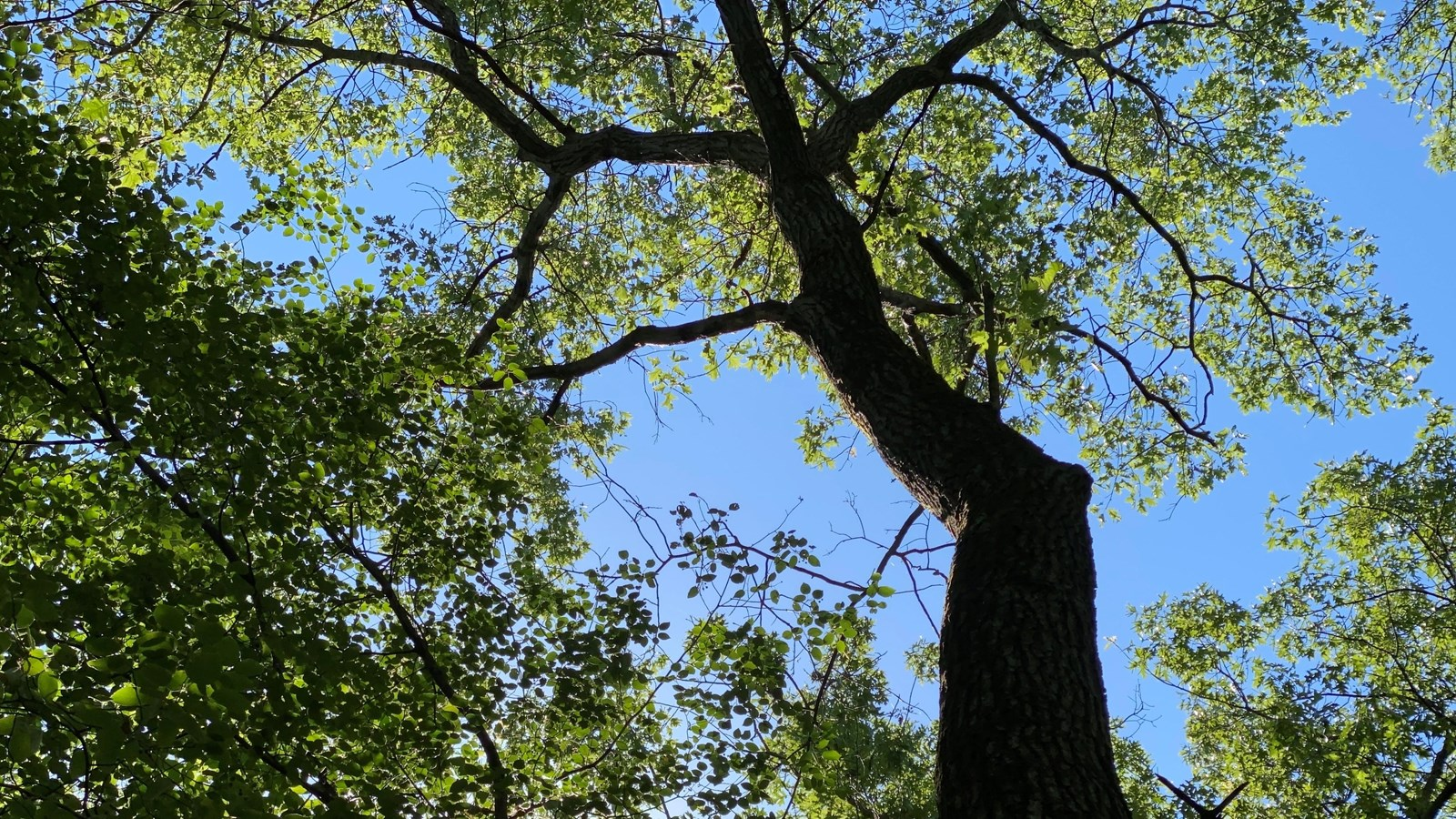 A tall oak tree reaches for the clear blue sky.  Green leaves provide shade to plants below.