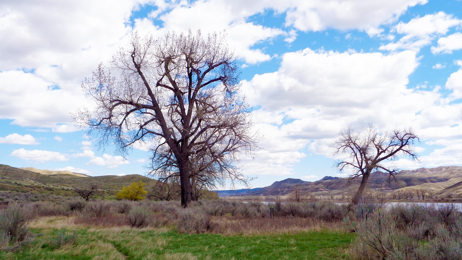 Grassy river bottoms with two large cottonwood trees with river in the background