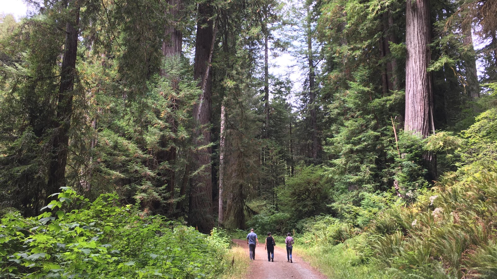 Three people walk on a wide trail surrounded by redwoods.