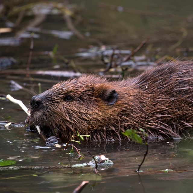 Close-up of beaver chewing on twig in pond