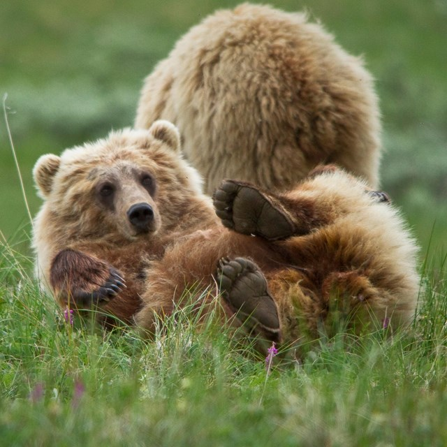A bear on it\'s back in green grass