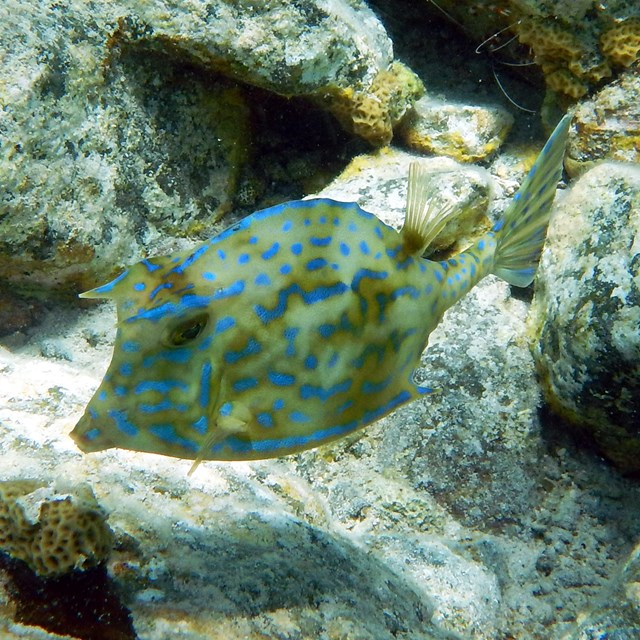 Green fish with bright blue spots swimming along rocks