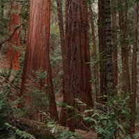 Red sequoia trunks tower over green underbrush