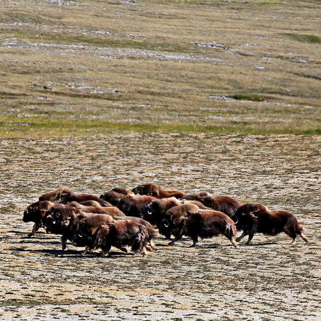 A herd of muskox galloping on the tundra.