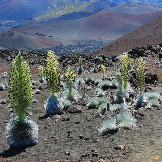 Silversword plants stretch across a volcanic landscape