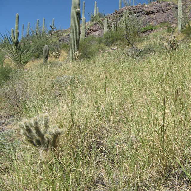 Bufflegrass spreading across desert landscape