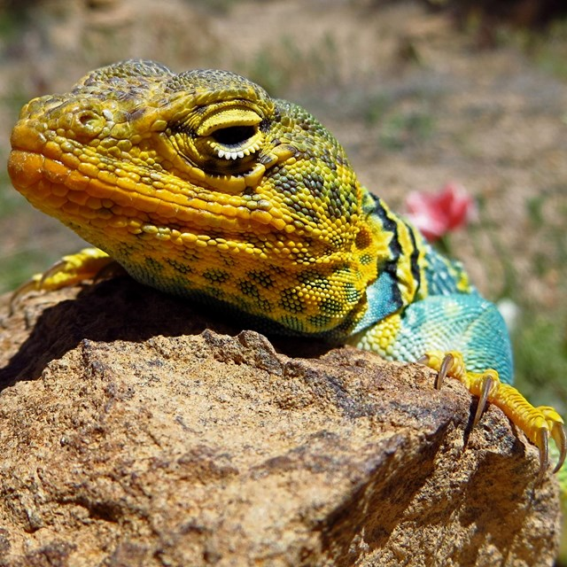 Colorful lizard sunning on a desert rock