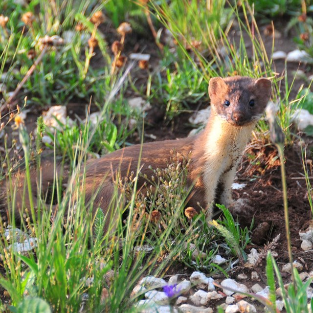 Long-tailed weasel among grasses and rocks