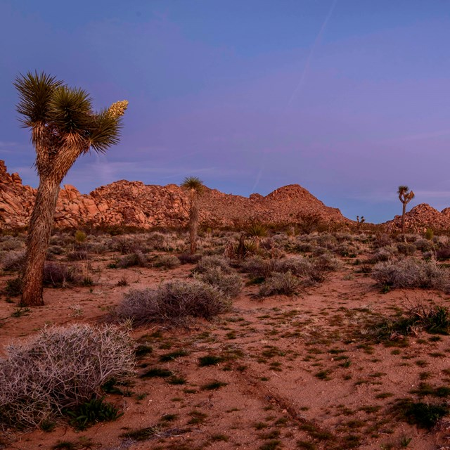 Desert landscape with Joshua trees at dusk