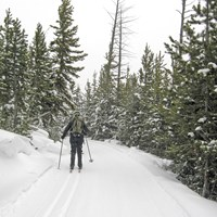 A skier makes their way along the forested section of the Bunsen Peak Road.