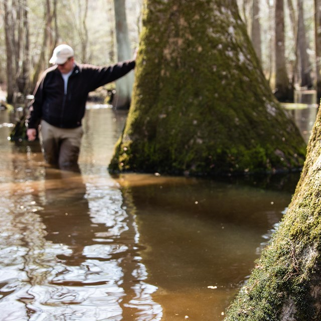 person leans against big cypress tree in swamp