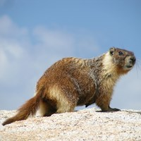 A yellow-bellied marmot stands on top of a rock.