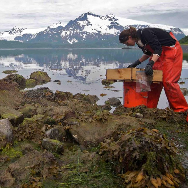 A researcher sifts through intertidal zone substrate to collect data on species found there.