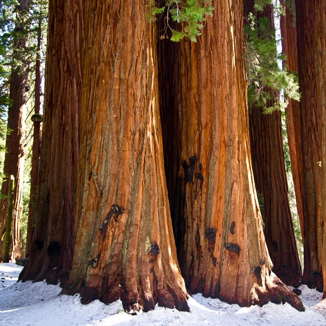 A group of giant sequoias in the snow