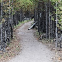 Bare ground trail leading through a pine forest.