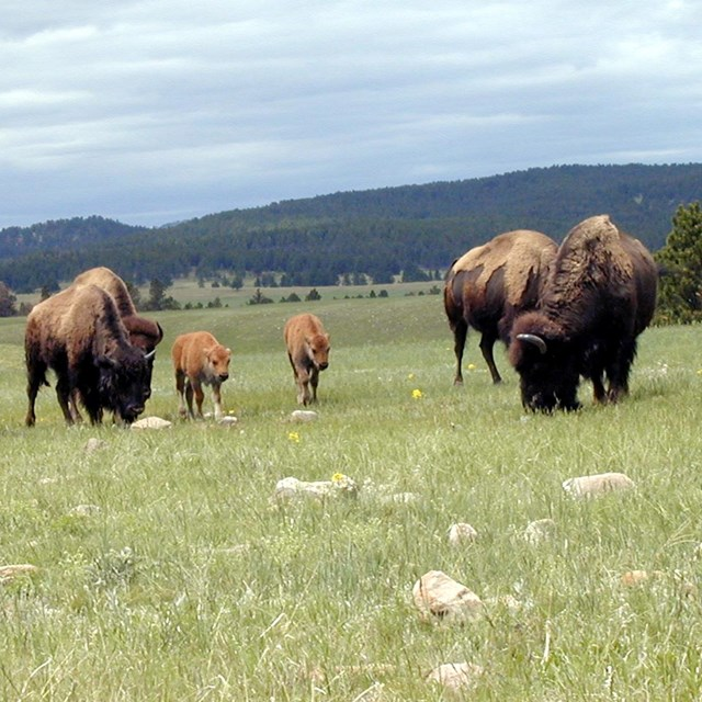 Adult bison with calves grazing in a grassland