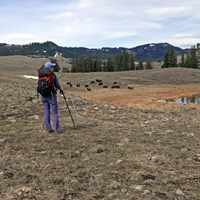 Hiker surveys the mountain scene while bison graze near a pond.