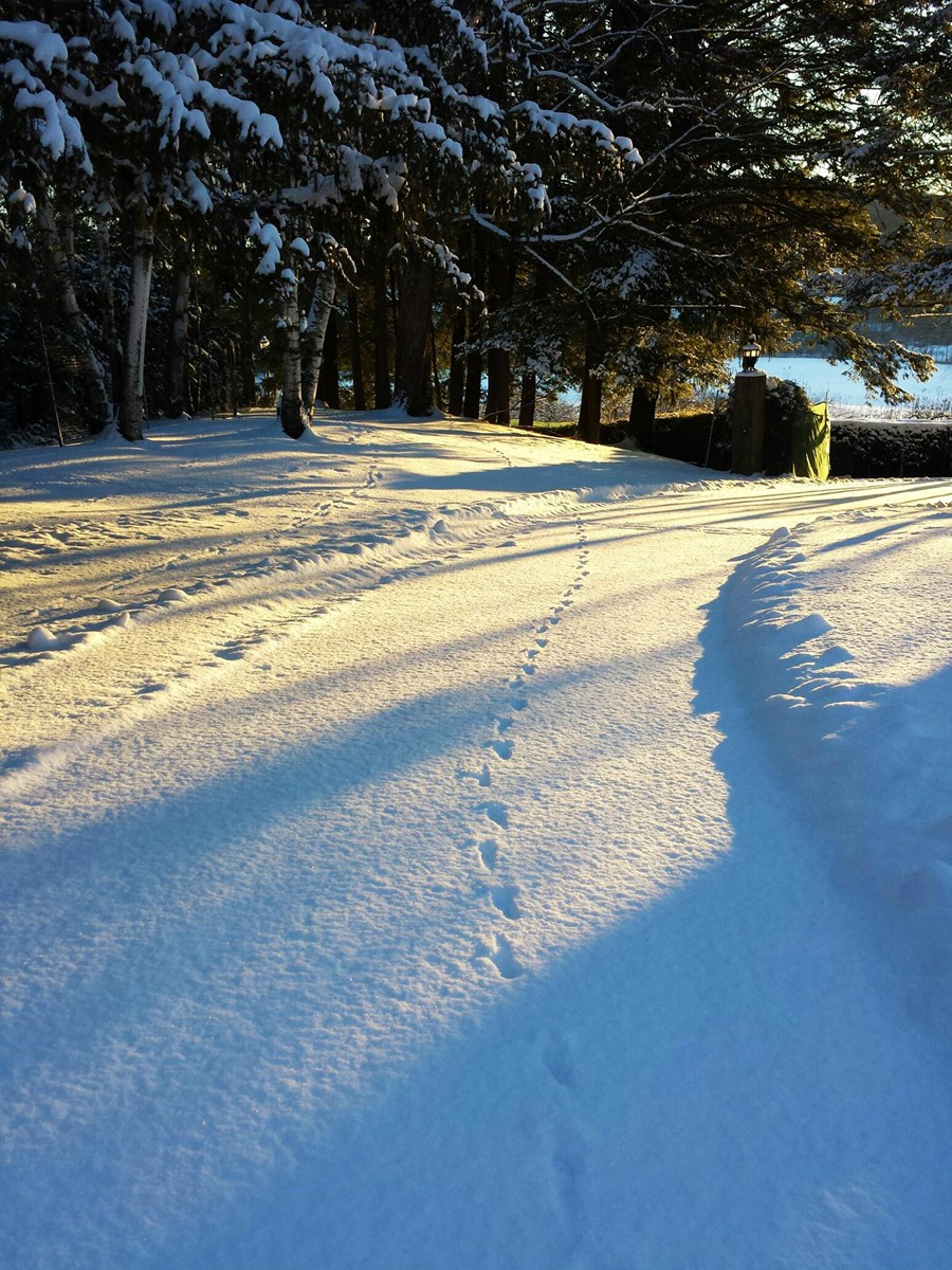 Animal tracks on upper driveway in the sunlight