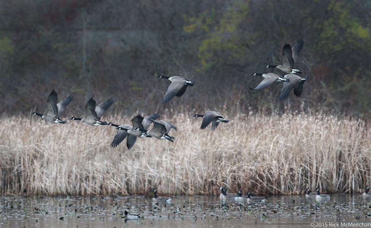 Flock of Canadian geese flying over a marsh in winter.
