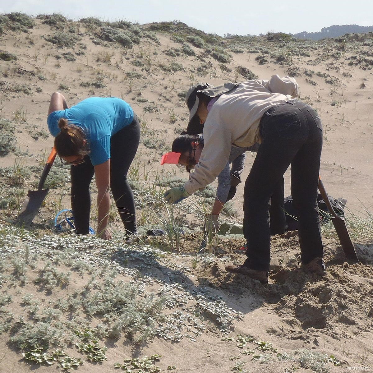 Three volunteers removing invasive plants from sand dunes.