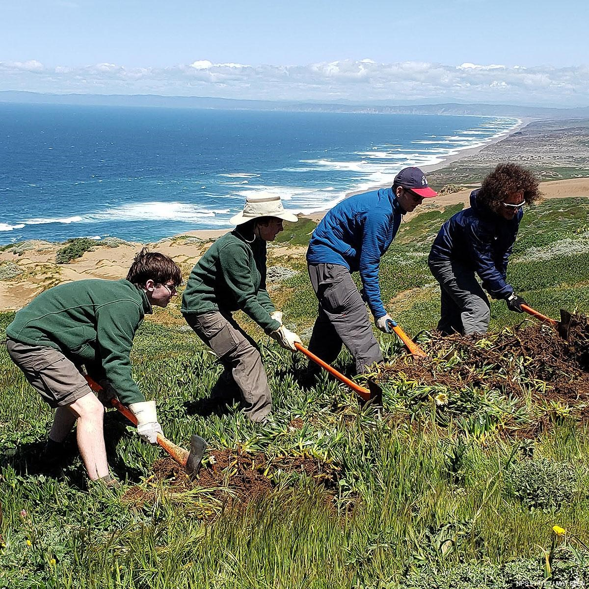 Four young men using hand tools remove invasive iceplant on an ocean-side ridge.