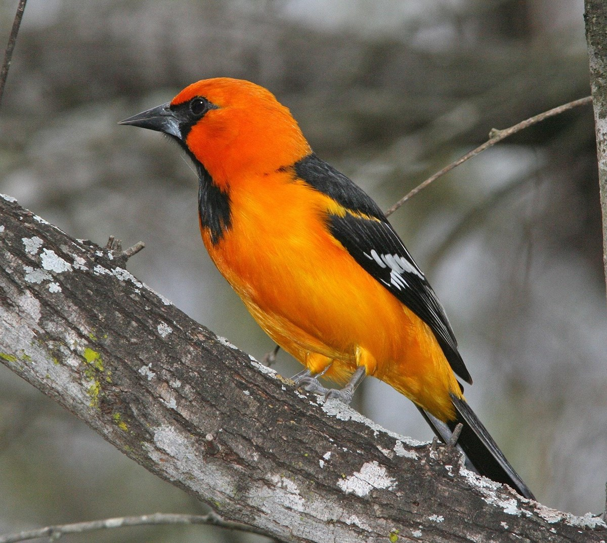 Orange and black bird on tree branch