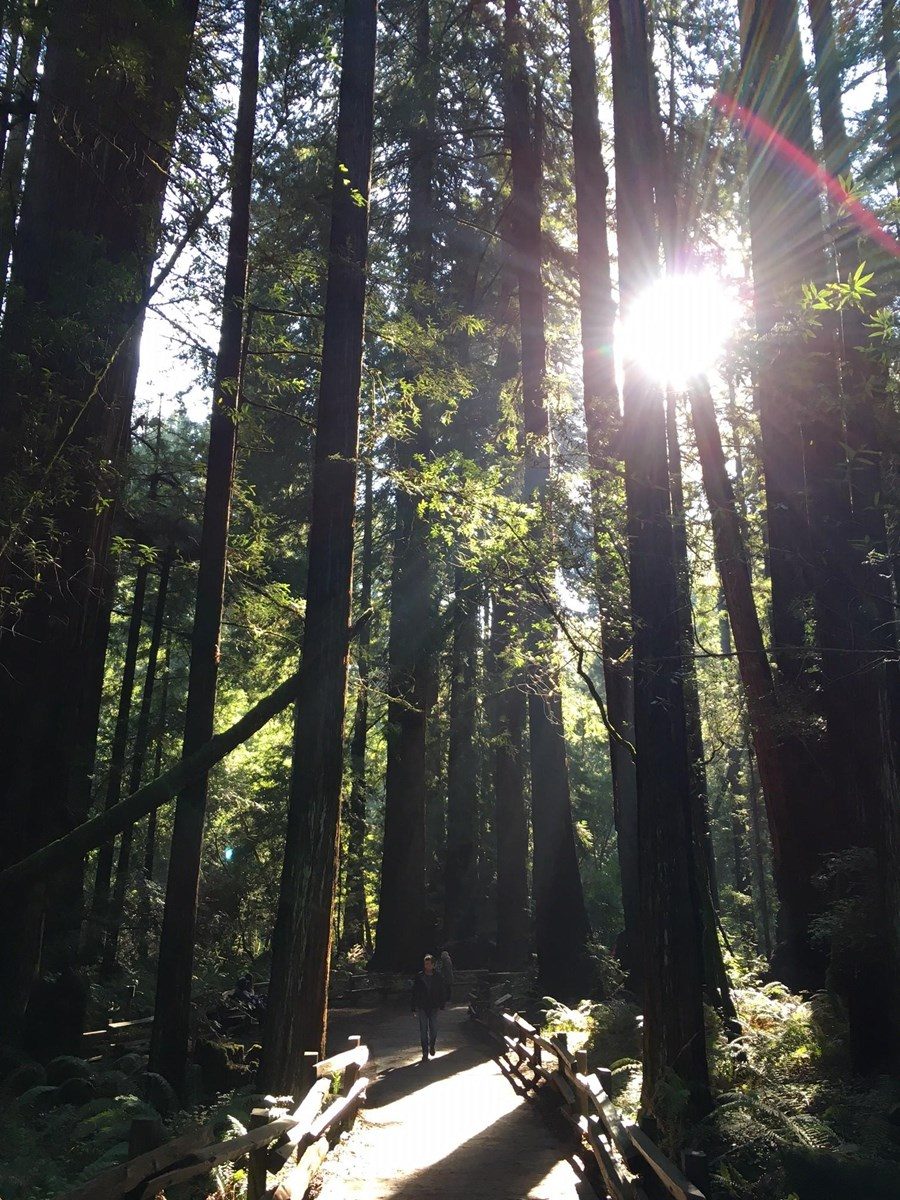 Sun rays filtering through tall redwoods