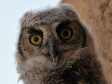 head of infant Great Horned Owl